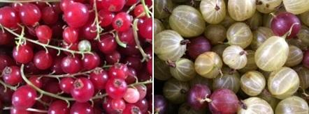 røde bær en på hver plante